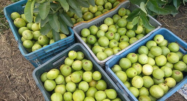 Biochemical Changes in Sun-dried Guava Pulp