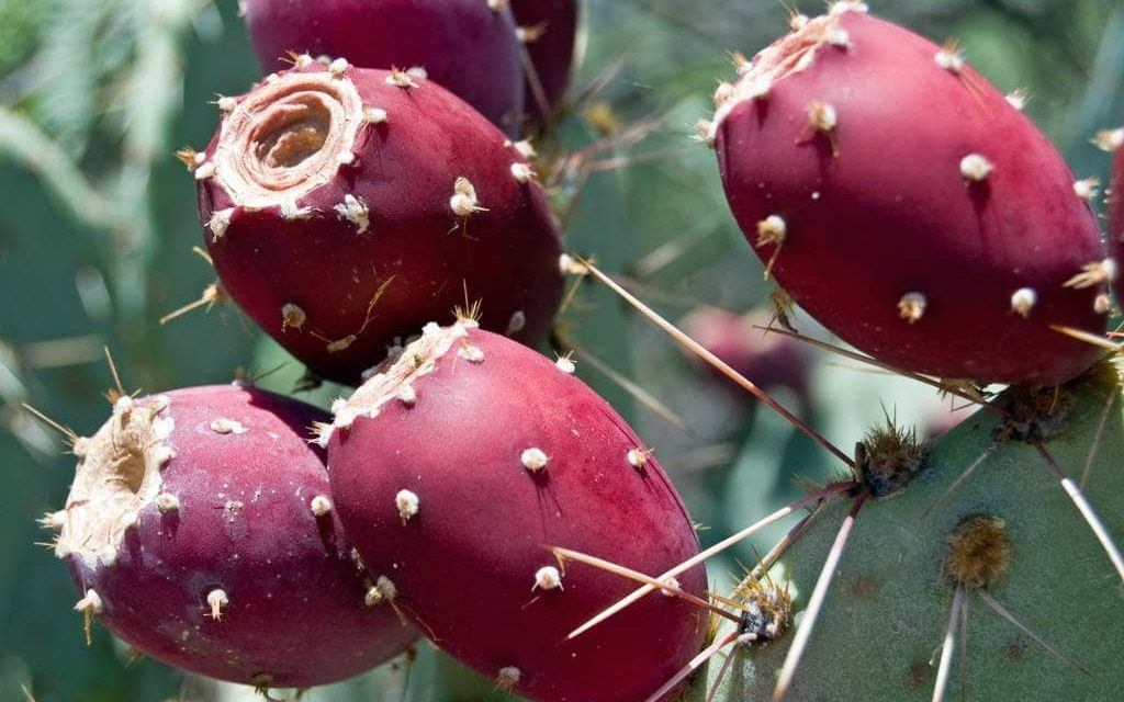 Patent for prickly pear juice underway