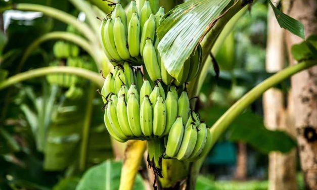 Banana exports from India: Prospects  & Procedure