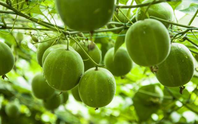Scientists Introduce Monk Fruit in India